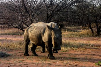 Rhino in Marakele